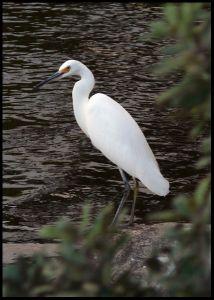 Australian Egret