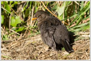 Blackbird(female)