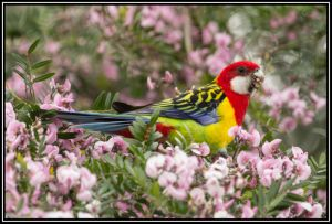 Eastern Rosella, Waikanae Beach, 28th Oct 2014.No.1
