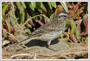 NZ Pipit 19th March 2014