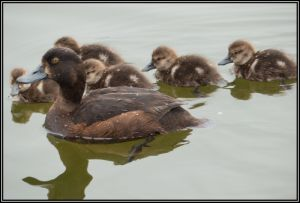 Scaup With Young, Waimanu Lagoon, 7th Dec 2014