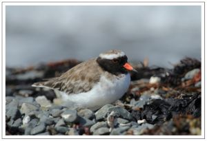 Shore Plover, 23rd March 2014