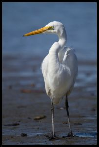 White Heron(Kotuku), Waikanae Estuary, 13th Nov 2014