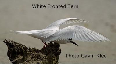 WF Tern
