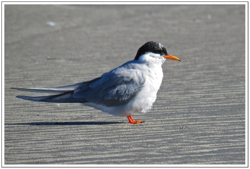 Black-fronted Tern At Waikanae Estuary