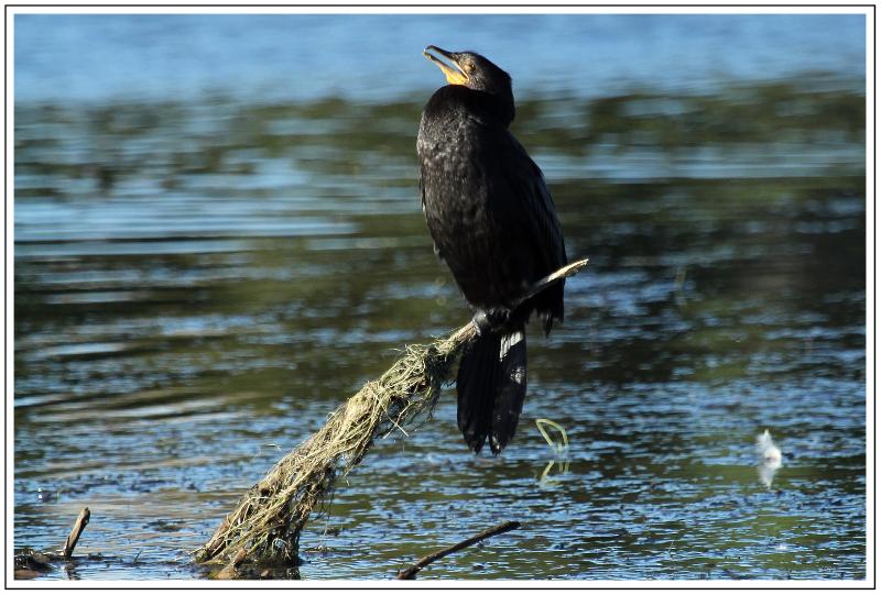 Little Black Shag, Waimanu Lagoon, Waikanae