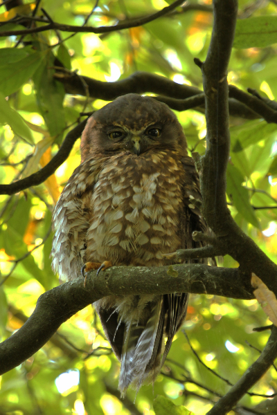 Morepork, 12th March 2014