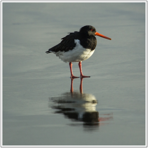 NZ Pied Oystercatcher, 20th April 2014
