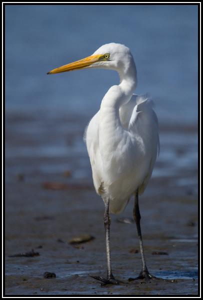 White Heron(Kotuku), Waikanae Estuary, 13th Nov 2014