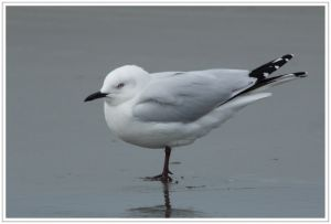 Black-billed Gull, 28th May 2014