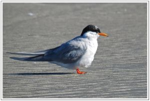Black-fronted Tern At Waikanae Estuary