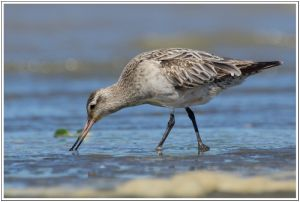Eastern Bar-tailed Godwits