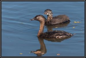NZ Dabchick With Juvenile,26th Dec 2014
