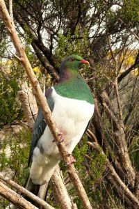 Native Pigeon(Kereru)