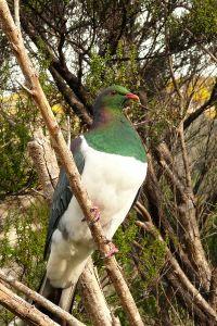 Native Pigeon(Kereru)