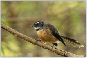 New Zealand Fantail(m.piwakawaka),  25th February 2014