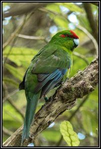 Red-crowned Kakariki, 1st Jan 2015