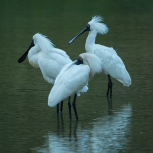 Royal Spoonbills At Weggery Lagoon, Waikanae, No.1