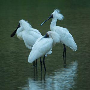 Royal Spoonbills At Weggery Lagoon, Waikanae, No.1