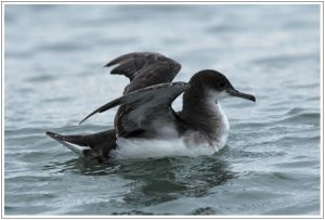 Sooty Shearwater At Waikanae Beach, 11th February 2014
