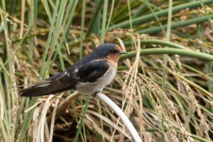 Welcome Swallow, Waimehu Lagoon, Waikanae
