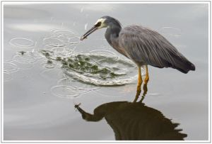 White-faced Heron With Fish, Waimanu Lagoon, Waikanae,9th April 2014