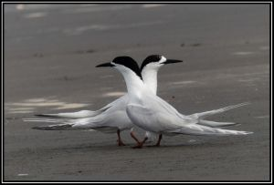 White-faced Terns Performing Courtship Ritual.